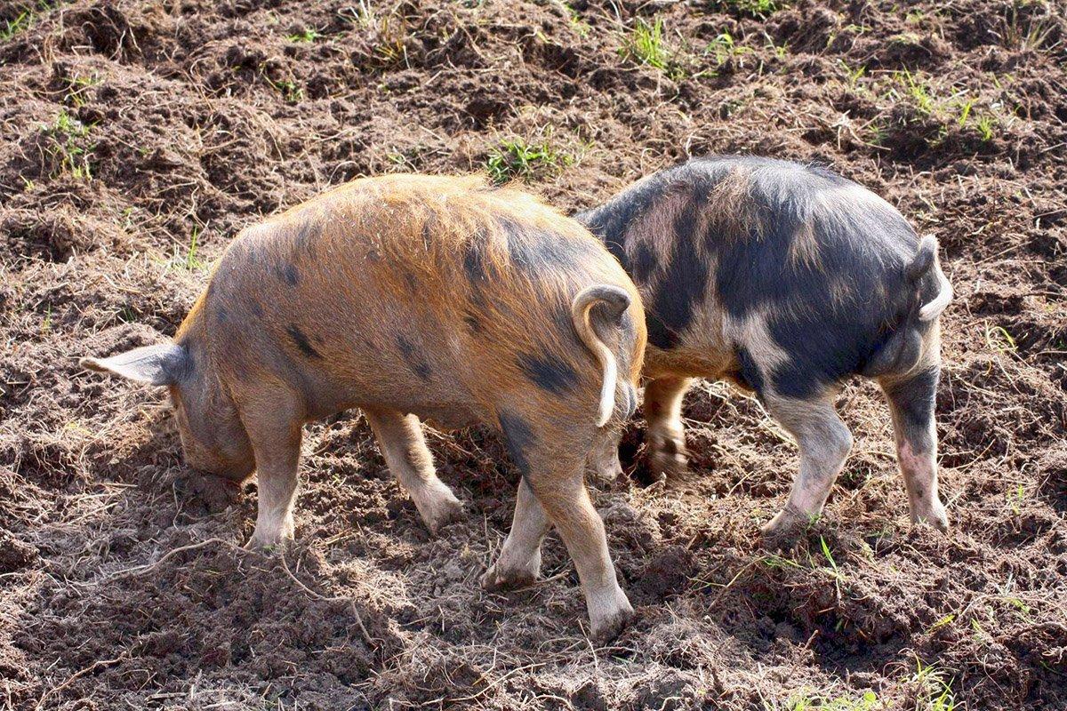 Även grisarna visade upp sig. Foto: Frida Sjöstedt