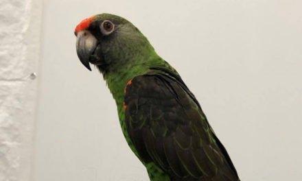 Bortflugen Kongopapegoja